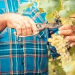 Adult Man Harvesting Grapes in the Vineyard — Stock Photo #30049709