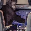 Stock Photo: GorillPiloting Airplane