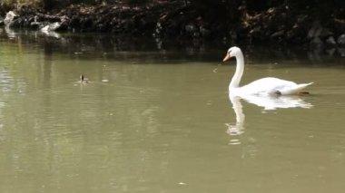 łabędź nad jeziorem — Wideo stockowe