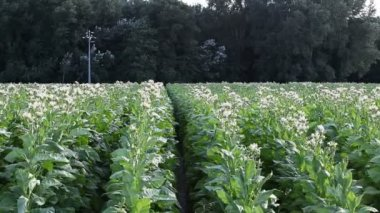 Rows of tobacco field — Stock Video