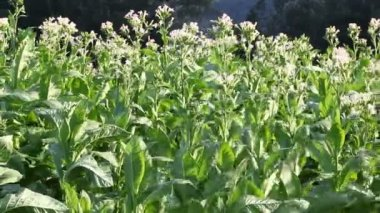 Tobacco field with white flowers — Stock Video
