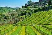 Vineyard and Olive — Stock Photo