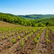 Stock Photo: Young Vineyard