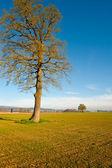 Solitary Tree — Stock Photo