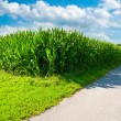 Corn  Fields — Stock Photo