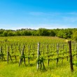vineyard — Stock Photo