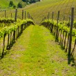 Vineyard — Stock Photo #17887383