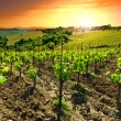 Vineyard — Stock Photo #34566321