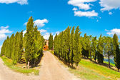 Cypress — Stock Photo