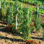 Garden — Stock Photo #37913499
