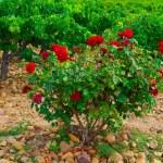 Rose Bush — Stock Photo #40415933