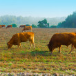 Foto de Stock  : Cows and Bulls