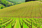 Young Vineyard — Stock Photo