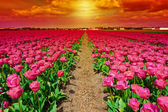 Dutch Tulips — Stockfoto