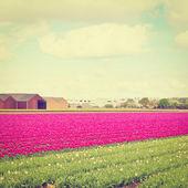 Tulipanes — Foto de Stock
