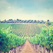 Vine and Olive — Stock Photo
