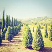 Cypress Trees — Stock Photo
