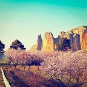 Almond Trees — Stock Photo