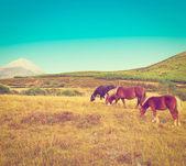 Grazing  Horses — Stock Photo