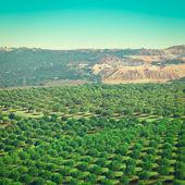 Olive Plantation — Stock Photo