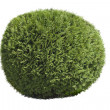Stock Photo: Topiary bush