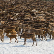 Stock Photo: Herd of reindeers