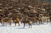 Herd of reindeers — Stock Photo