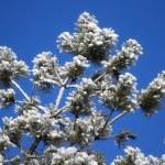 Pine-tree in winter — Stock Photo