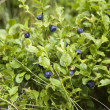 Blueberry bush — Stock Photo