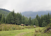 Cow pasturing in Carpathian mountains — Stock Photo