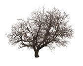 Bare tree isolated over white — Stock Photo