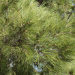 Conifer branches texture — Stock Photo