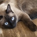 Siamese cat — Stock Photo #42251773