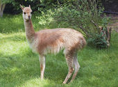 Young guanaco — Stock Photo
