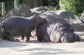 Two hippos, mother and child — Stock Photo
