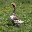 Stock Photo: Domestic goose