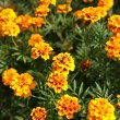 African Marigold in garden — Stock Photo