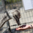 Royalty-Free Stock Photo: Feeding of ostrich