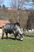 The cow — Stock Photo