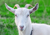 Portrait of a goat on a green meadow. — Stock Photo