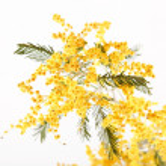 Mimosa — Stock Photo #1120510