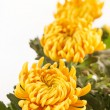 Chrysanthemum Flowers — Stock Photo #12741884