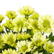 Chrysanthemum Flowers — Stock Photo #12894048