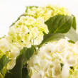 Stock Photo: Beautiful hydrangea