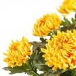 Chrysanthemum Flowers — Stock Photo #12894665