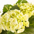 Beautiful hydrangea — Stock Photo