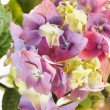 Beautiful hydrangea — Stock Photo #12898739