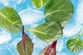 Ijs en bladeren — Foto de Stock