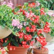 Geranium pots — Stock Photo #13597768