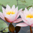 Water lily — Stock Photo #13597771